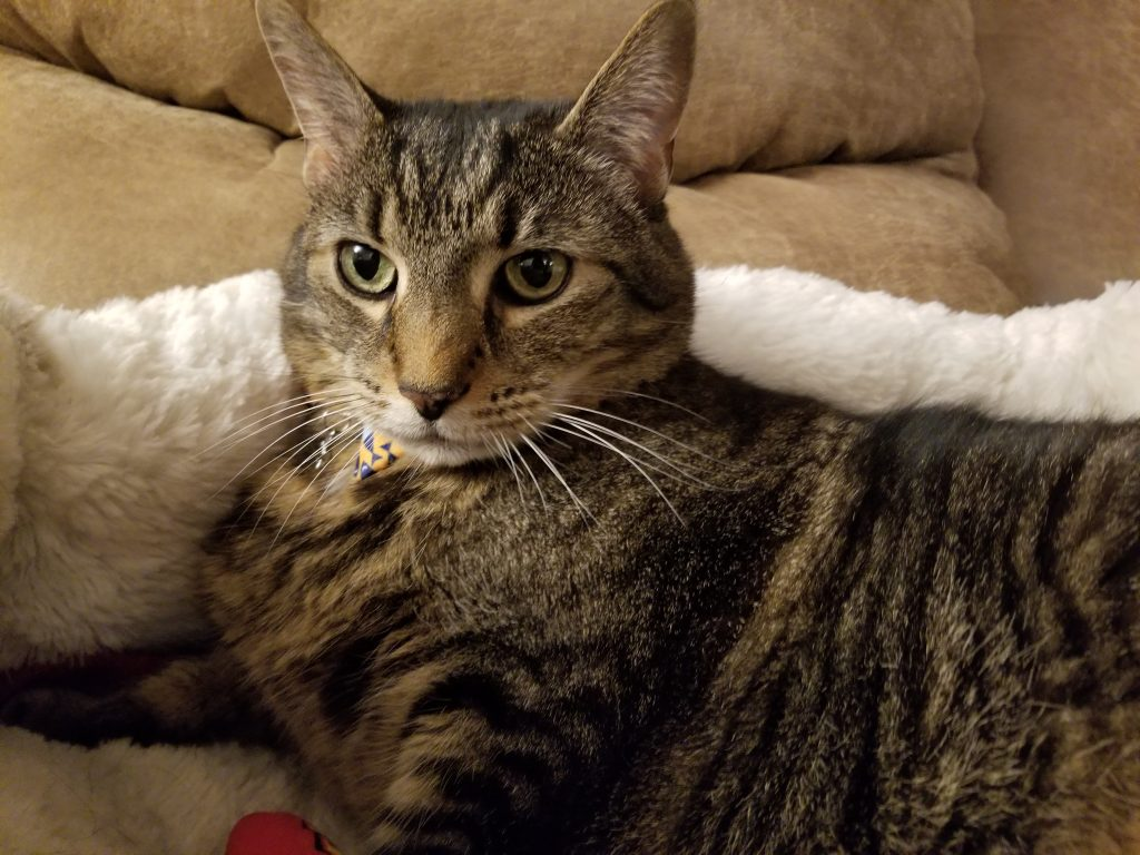 Striped brown tabby cat in cat bed